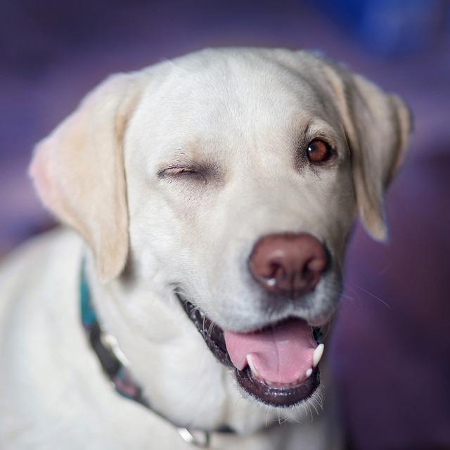 pes co mrká na jedno oko