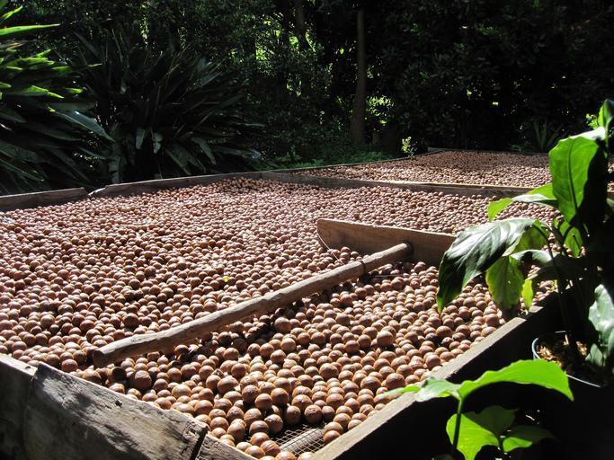 sušení makadamových ořechů